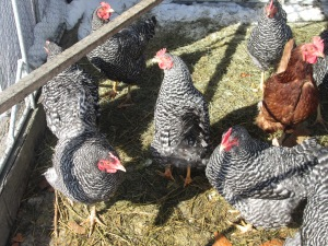 Barred Rock and one Rhode Island Red hens enjoying a sunny winter day.