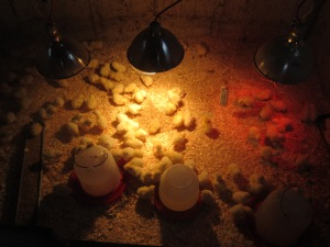 100 new chicks all warm, dry and snug in the brooder.