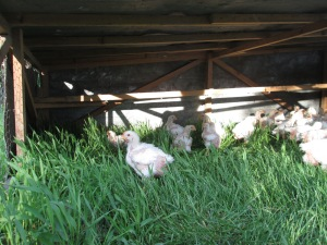 Chicken | Square Peg Food Farm