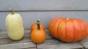 Left to right: Spaghetti Squash, Small Sugar Pumpkin, Cinderella pumpkin