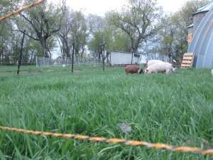 Piglets on pasture. On their way to the woods to live for the summer.