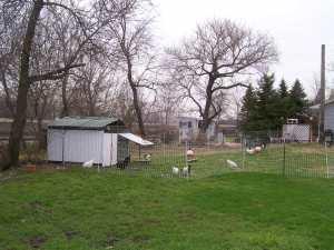 Pastured Hens   Square Peg Food Farm
