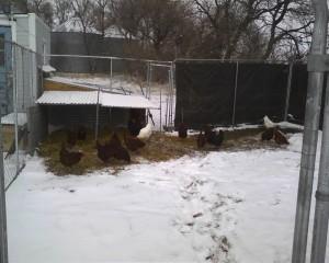 Chicken 'range' in winter   Square Peg Food Farm