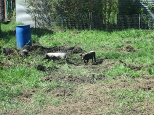 Pastured hogs | Square Peg Food Farm