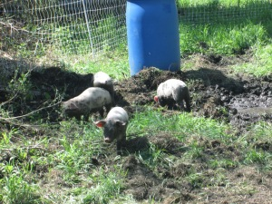 Pigs on Pasture | Square Peg Food Farm